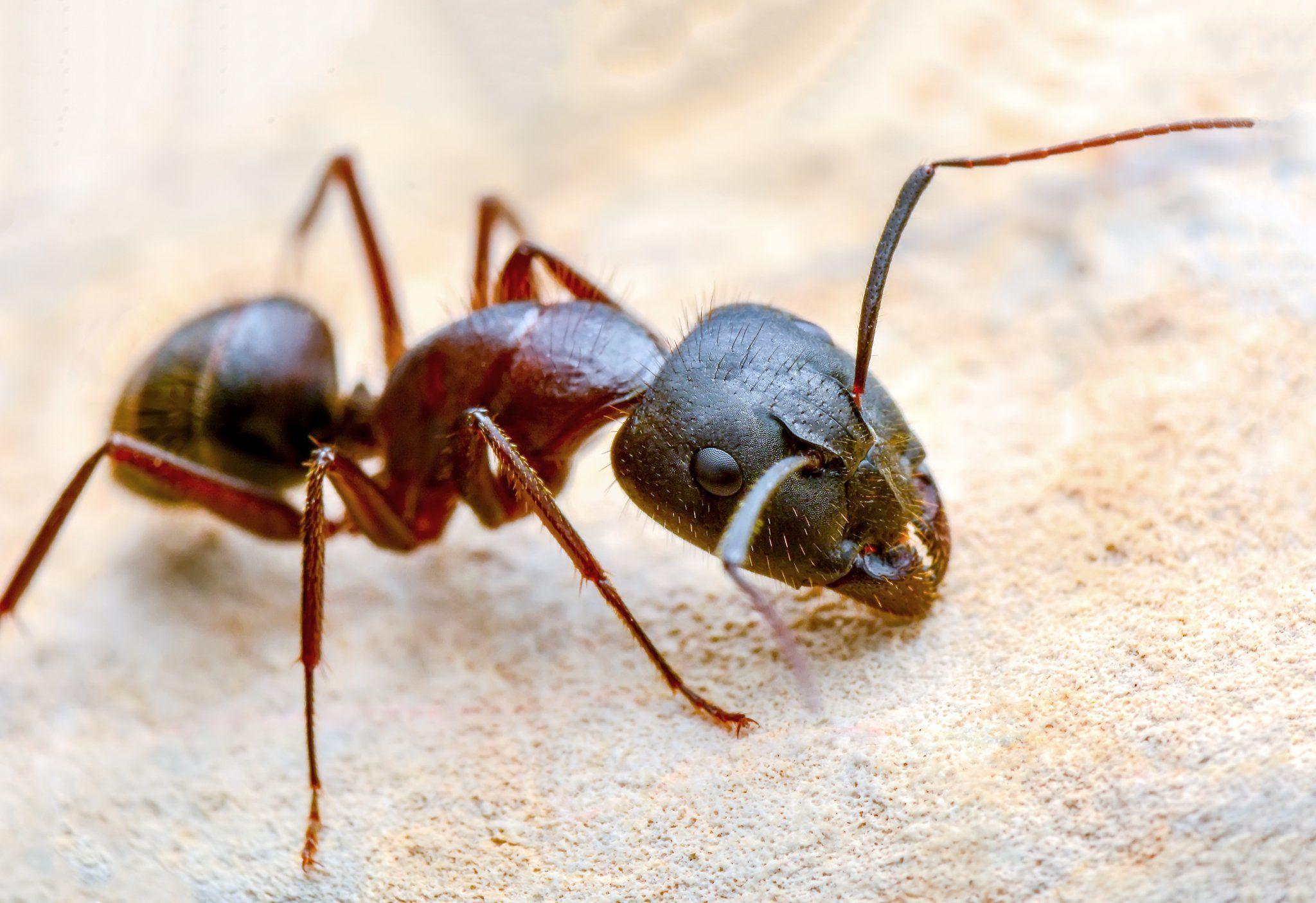 debellare le formiche